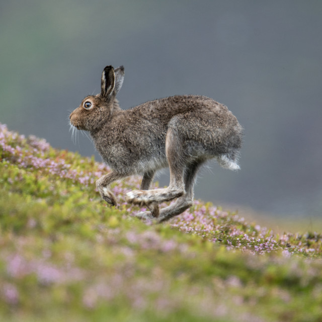 """Mountain Hare (Lepus timidus) running up the hill"" stock image"