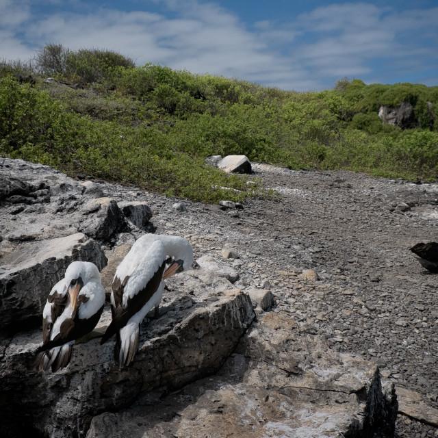 """""""Nesting nazca booby pair"""" stock image"""