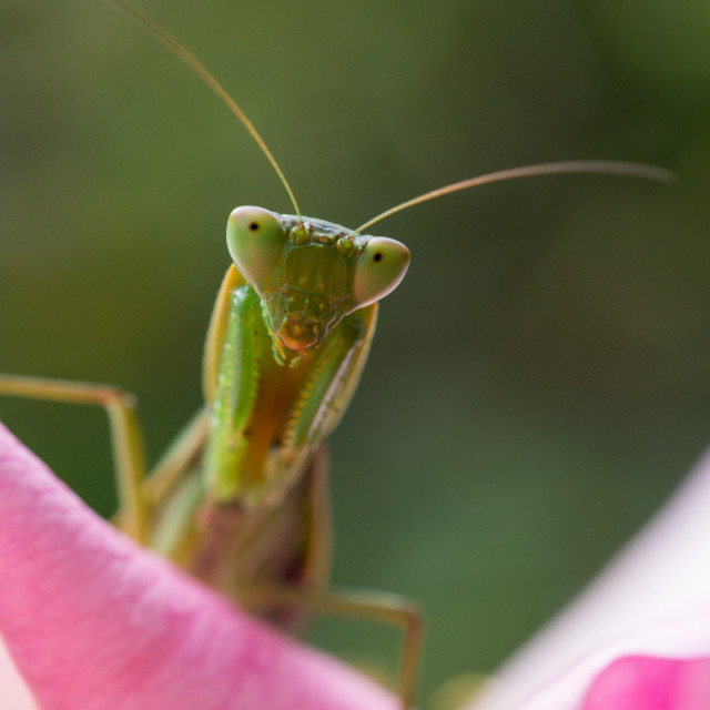"""Mantis in Pink"" stock image"