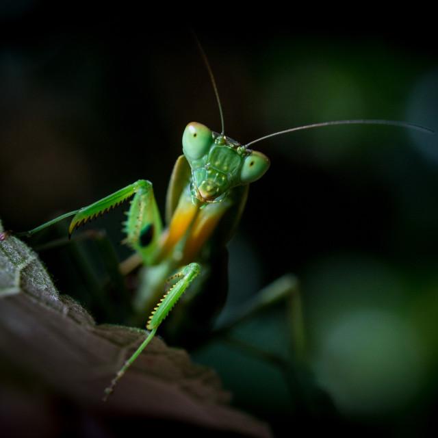 """""""Mantis - Orthodera novaezealandiae"""" stock image"""