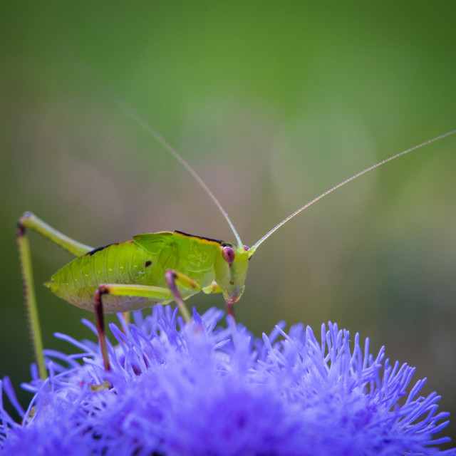 """Katydid Blues"" stock image"