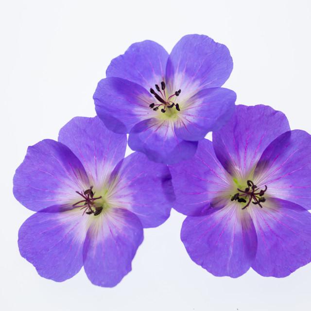 """Geranium hybrida Rozanne"" stock image"