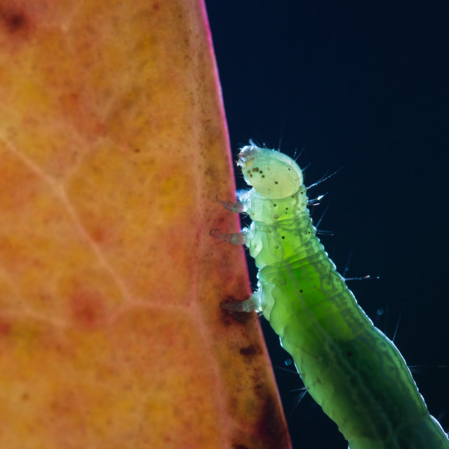 """Green Caterpillar"" stock image"