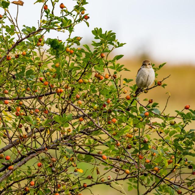 """Eurasian tree sparrow sits on rose hip bush"" stock image"