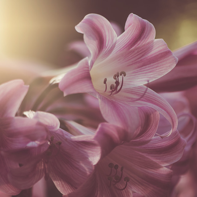 """""""Pink Lilies"""" stock image"""