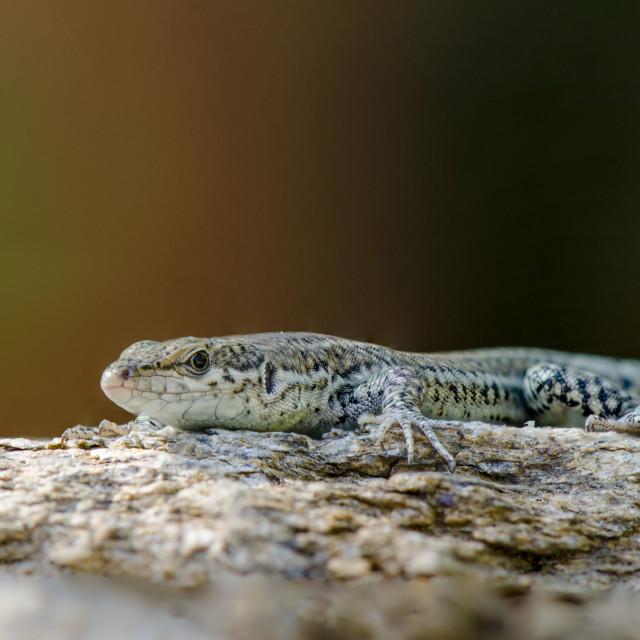 """Iberian wall lizard, Podarcis hispanica, on a rock"" stock image"