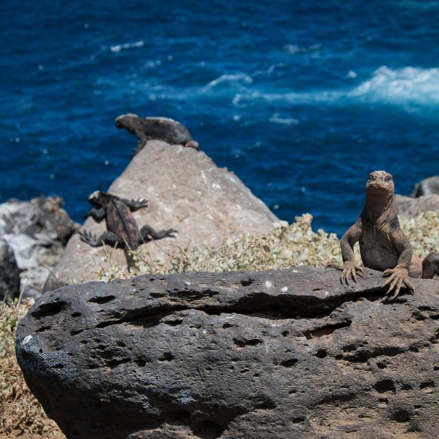 """""""Galapagos Marine Iguanas"""" stock image"""