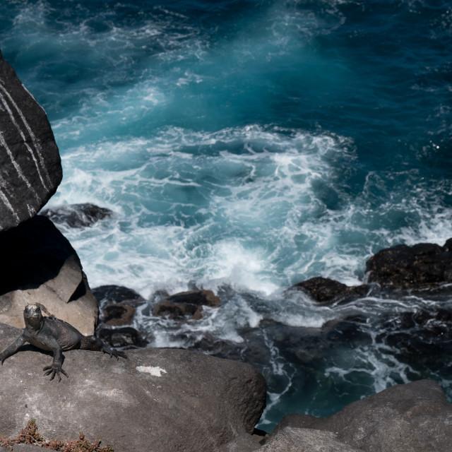 """Iguana's Treacherous Climb"" stock image"