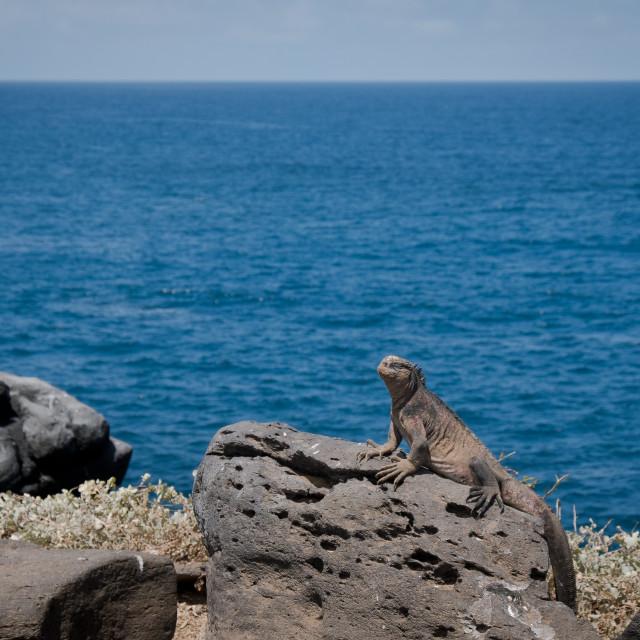 """""""Galapagos Marine Iguana Profile"""" stock image"""