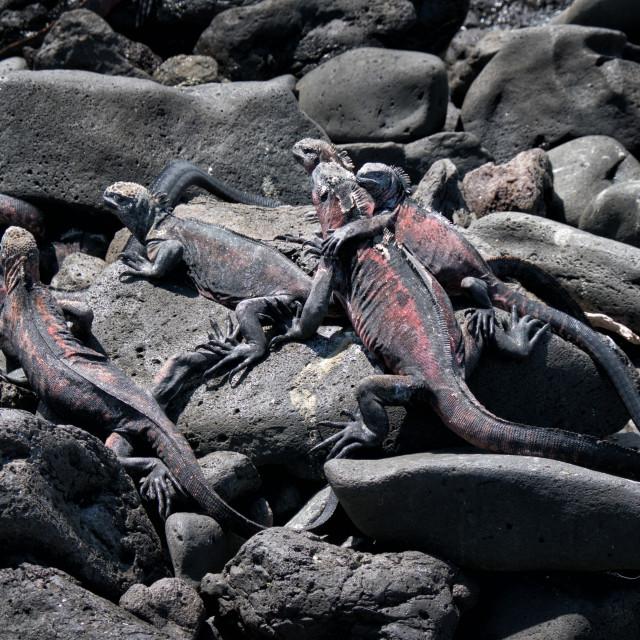 """Galapagos Marine Iguanas Warming Themselves"" stock image"