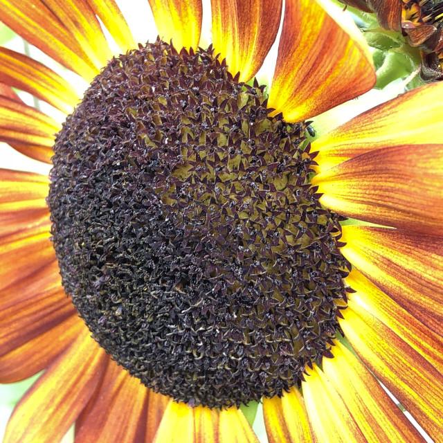 """""""Vibrant Sunflower"""" stock image"""