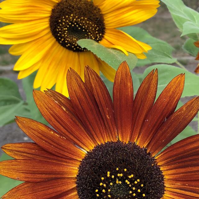 """Vibrant Sunflowers"" stock image"