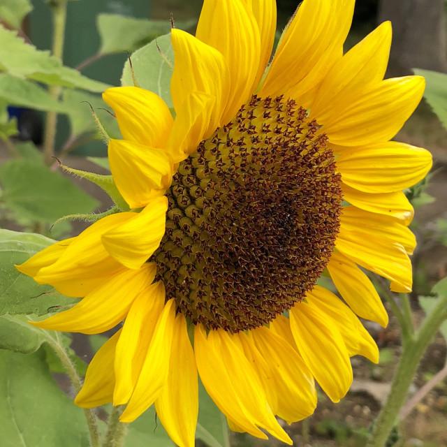 """Common Sunflower"" stock image"