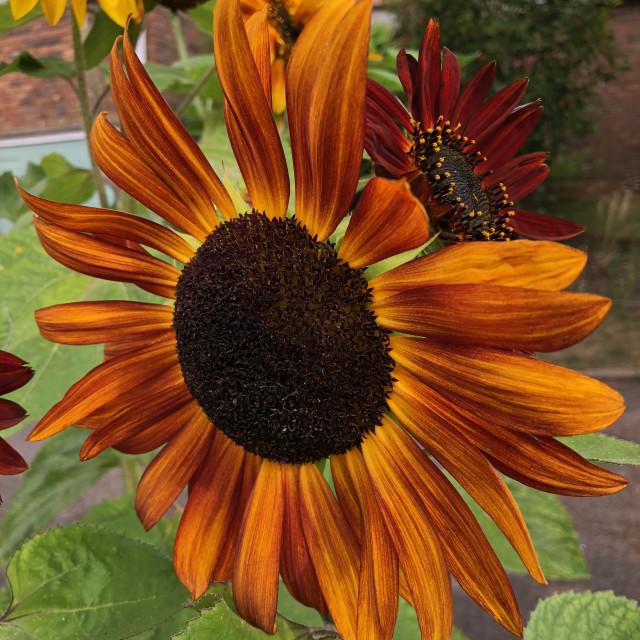"""""""Summer Sunflower"""" stock image"""
