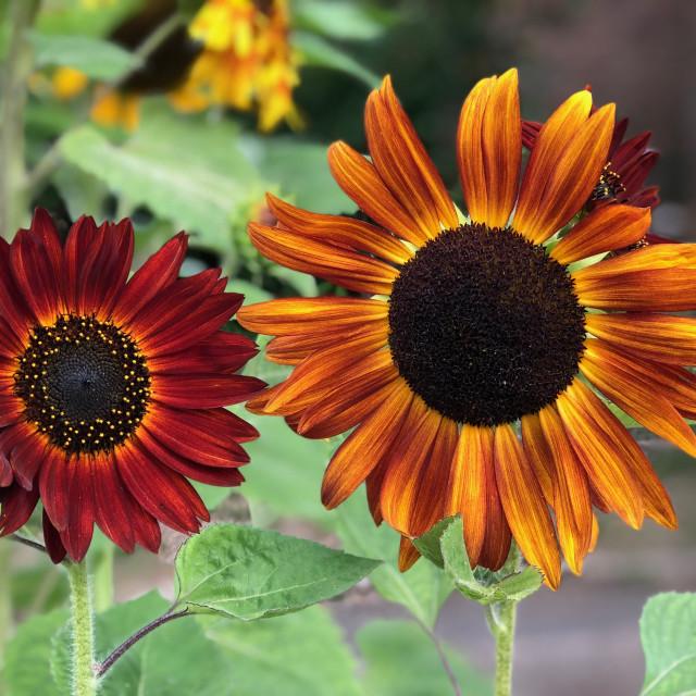 """Closeup of Sunflowers"" stock image"