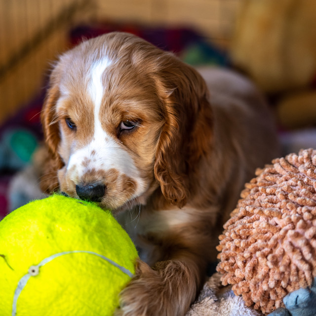 """""""Puppy at play"""" stock image"""