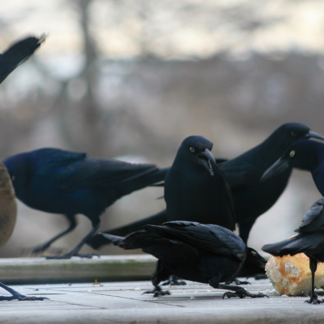 """Grackles, a swarm of greedy and hungry birds"" stock image"