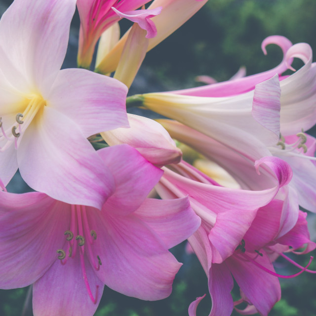 """Lillies in bloom matte"" stock image"