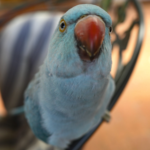 """Curious Blue Parrot"" stock image"