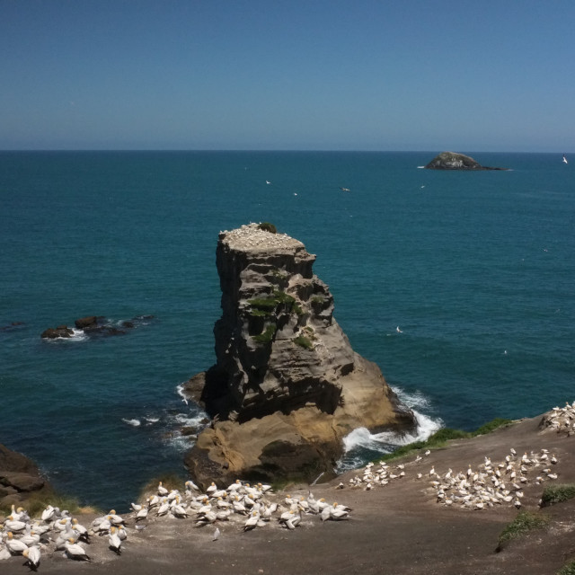 """""""Australasian Gannet Colony in Muriwai, New Zealand"""" stock image"""