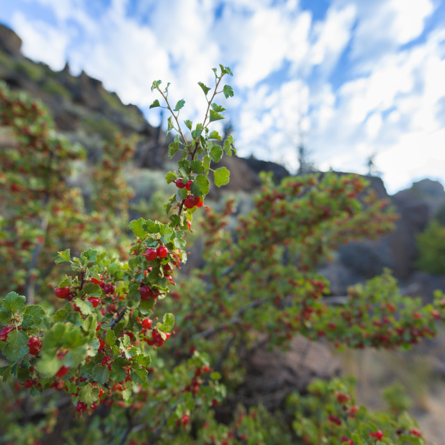 """""""Red wild berry tree in Smith Rock Park, Oregon, USA"""" stock image"""
