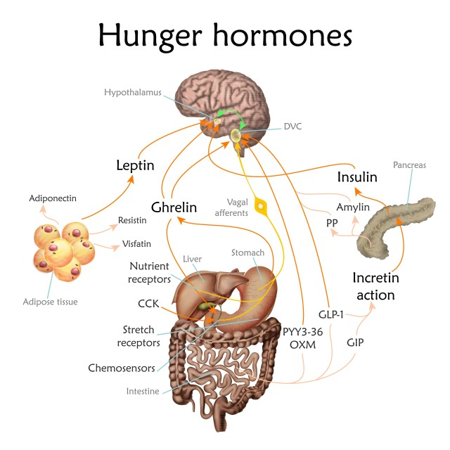 """""""Appetite and hunger hormones, illustration"""" stock image"""