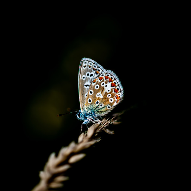 """A Common blue butterfly"" stock image"
