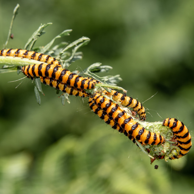 """Cinnabar moth caterpillar"" stock image"