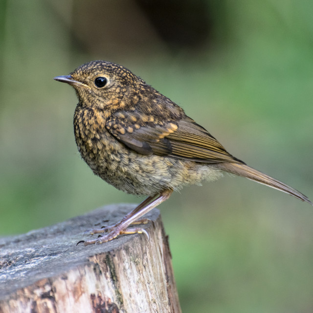 """""""Young Robin"""" stock image"""