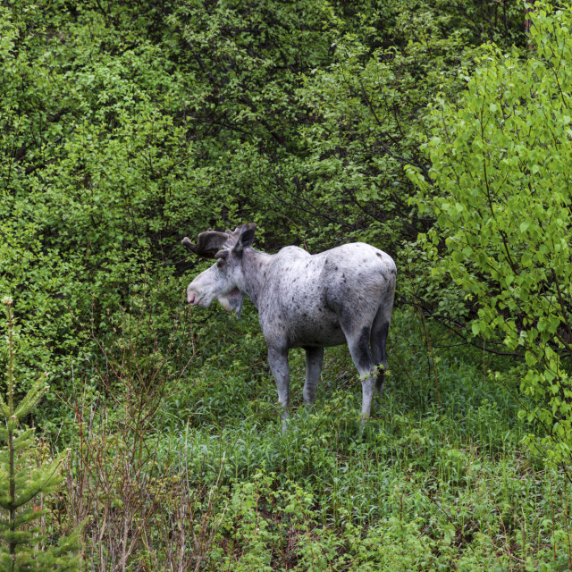 """""""Moose in the forest, Newfoundland"""" stock image"""