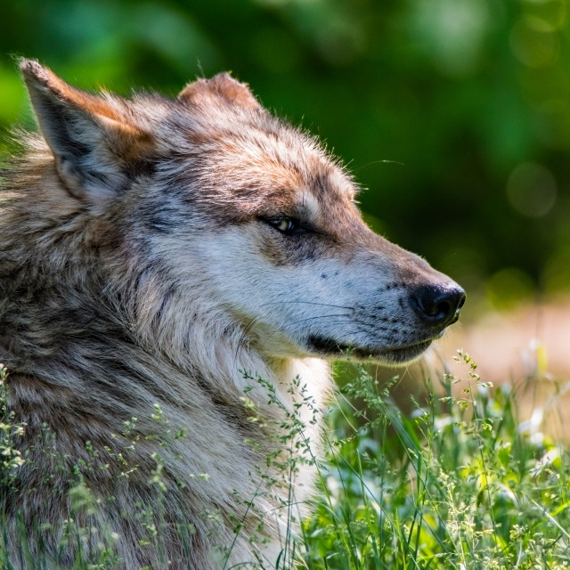 """Timber Wolf"" stock image"