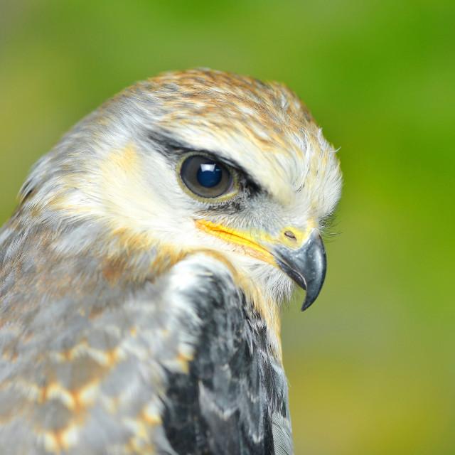 """Portrait of eagle"" stock image"