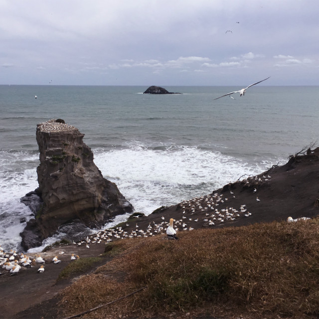 """""""Gannet Colony in Muriwai Beach"""" stock image"""