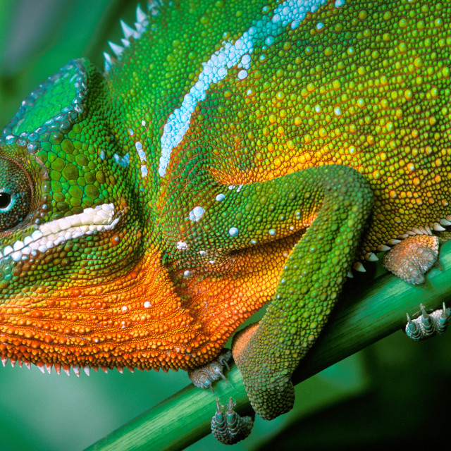 """""""Classic Panther Chameleon"""" stock image"""