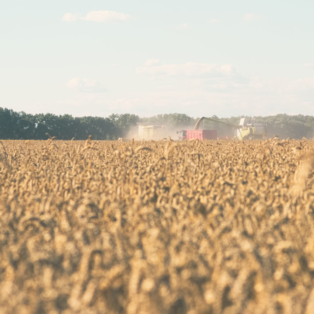 """""""Wheat Harvesting with Combine Harvesters"""" stock image"""