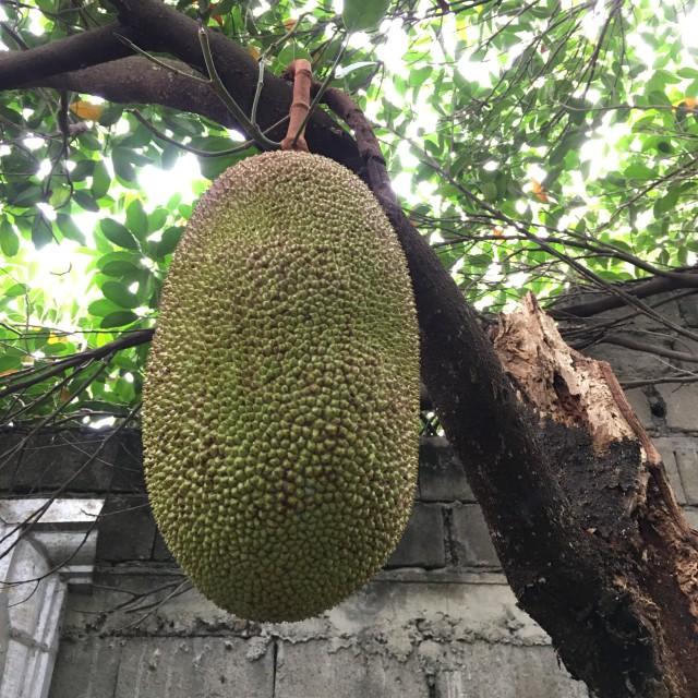 """""""Unripe Jackfruit on Tree"""" stock image"""