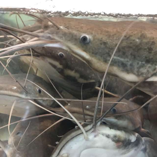 """Philippine Catfish"" stock image"