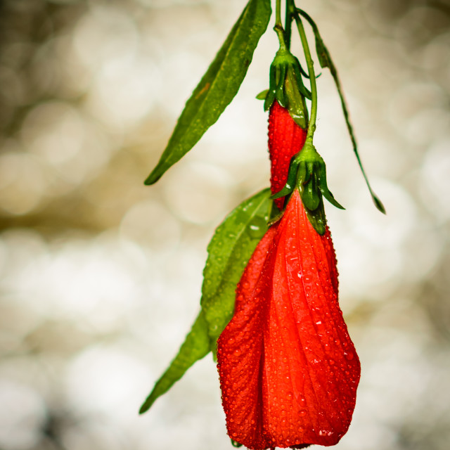 """""""Beautiful Red Flower"""" stock image"""