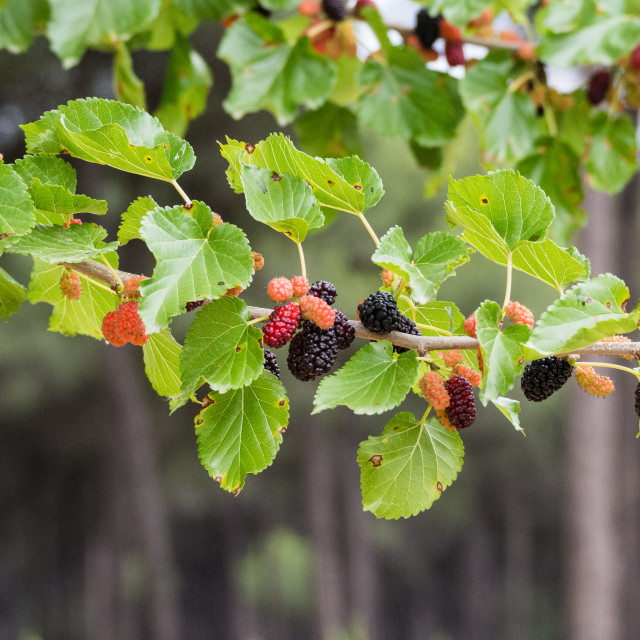 """Black Mulberry"" stock image"