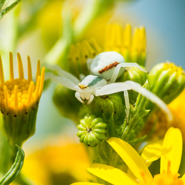 """Waiting Crab Spider"" stock image"