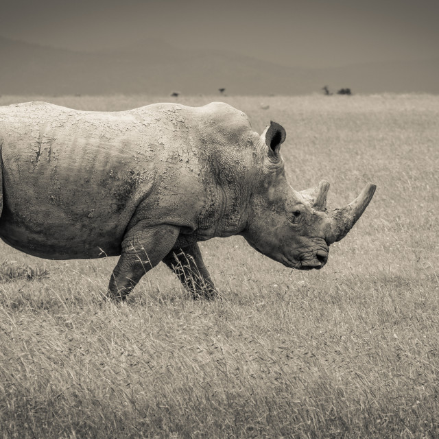 """Southern White Rhino Walking in the Wild"" stock image"