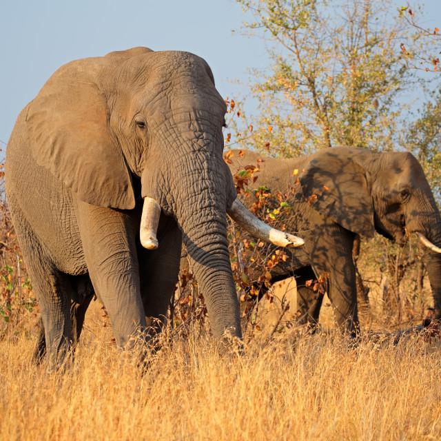 """African bull elephants"" stock image"