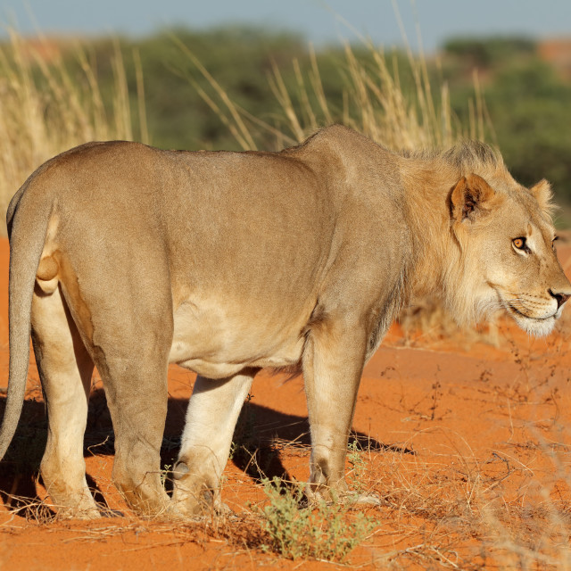 """Male African lion (Panthera leo) on a red sand dune, Kalahari desert, South Africa"" stock image"