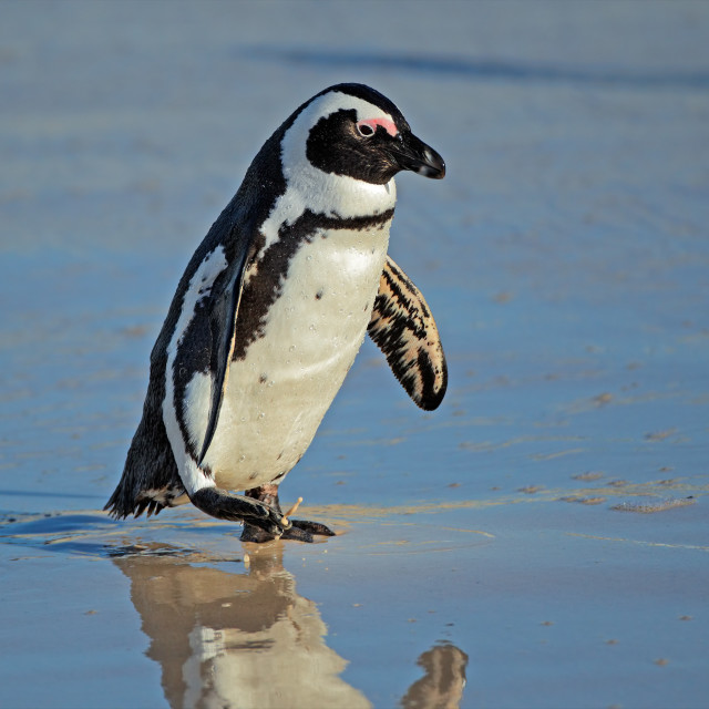 """""""African penguin"""" stock image"""