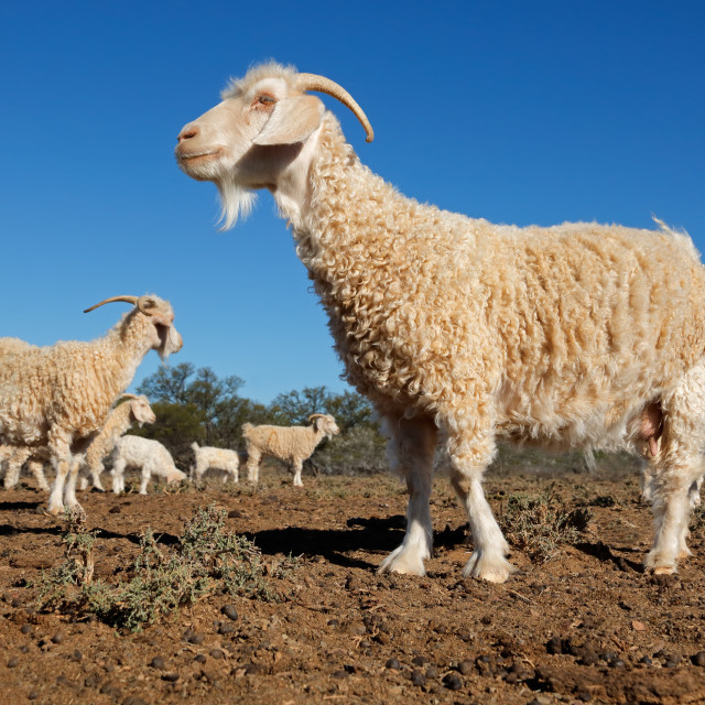 """Angora goats on a rural African free-range farm"" stock image"