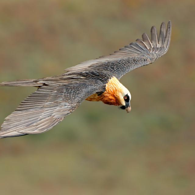 """Bearded vulture in flight"" stock image"