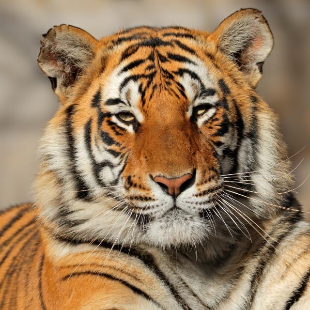 """Bengal tiger portrait"" stock image"