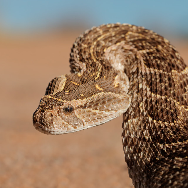 """""""Defensive puff adder"""" stock image"""