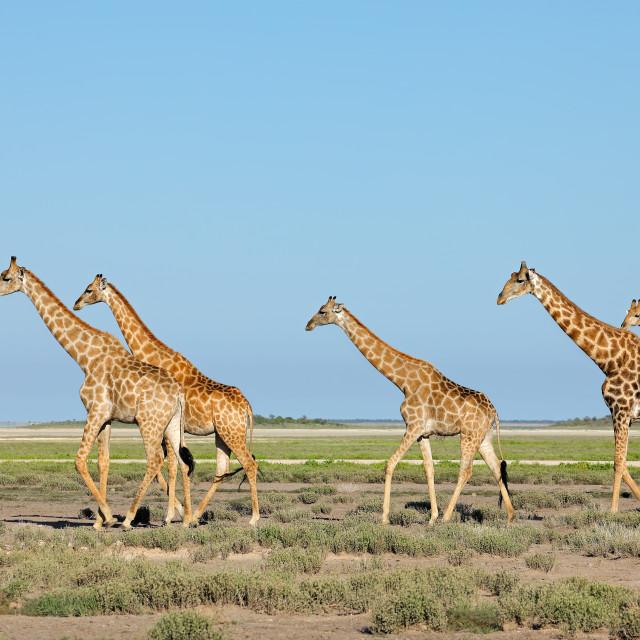 """Giraffes (Giraffa camelopardalis) walking over the plains of Etosha National Park, Namibia"" stock image"