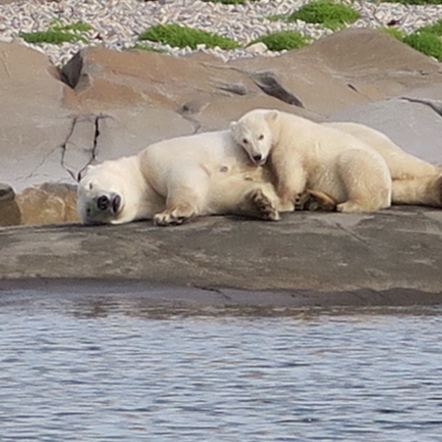 """Summer polar bears"" stock image"